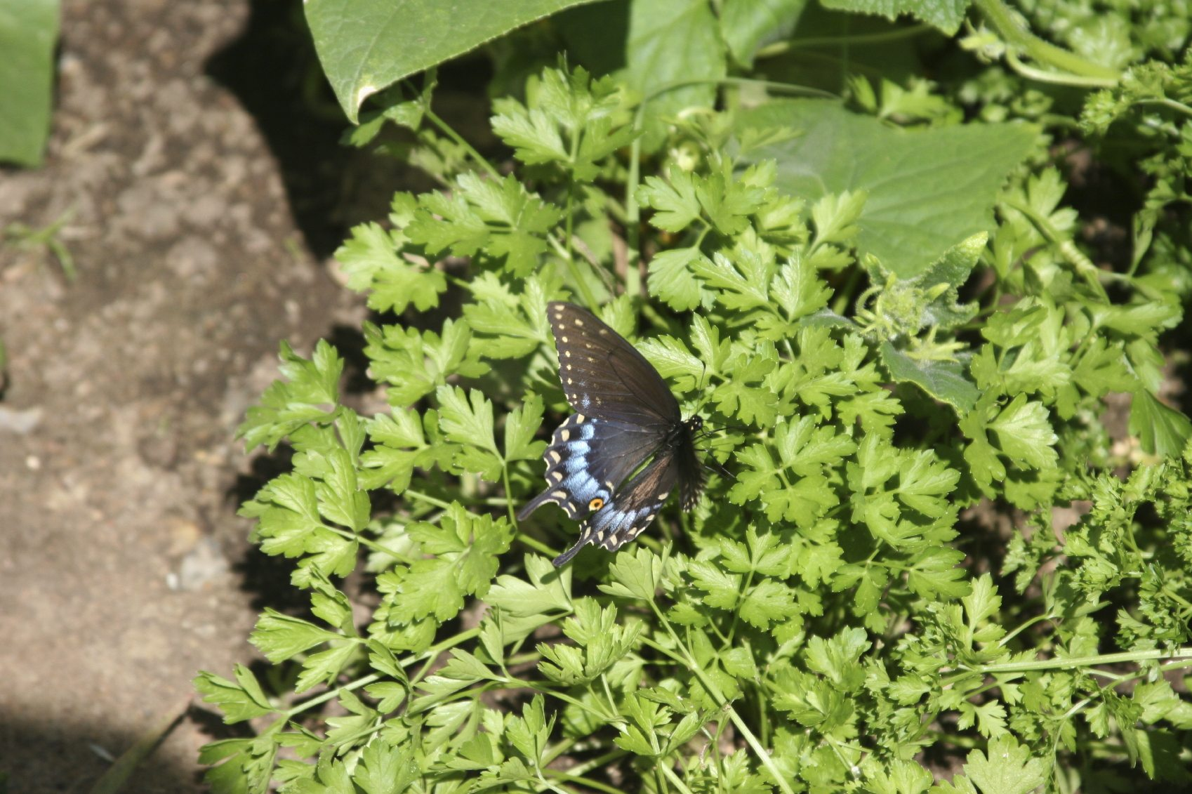 My Parsley Is Attracting Butterflies - Learn About Attracting ...