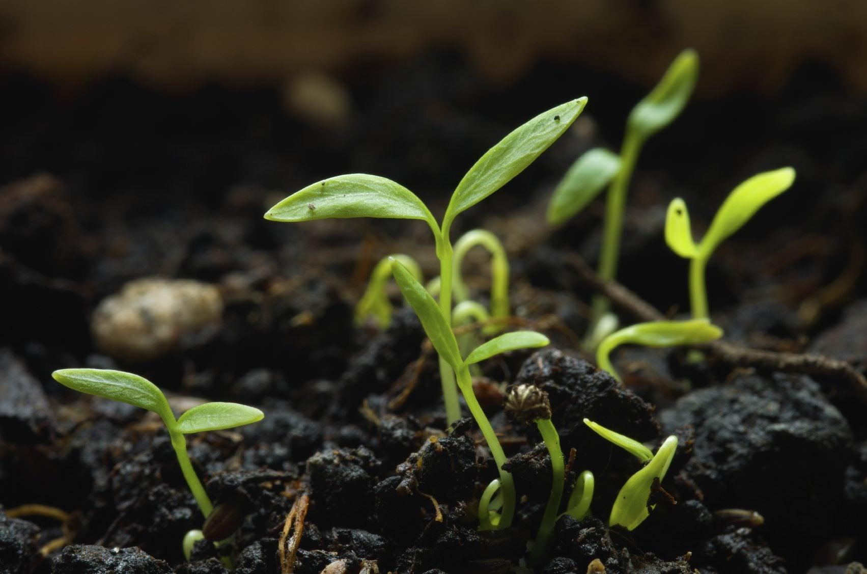 growing parsley seeds   parsley  grown  seeds