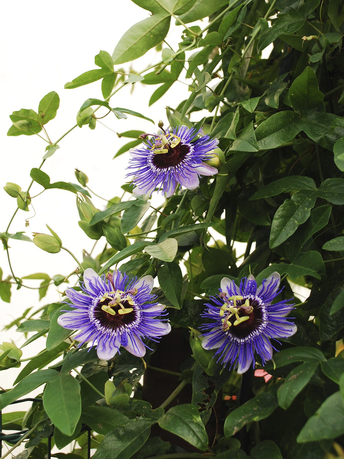 Feeding Passion Flower Vines – How To Fertilize A Passion