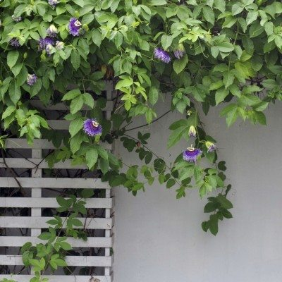 Trimming Passion Vines When And How To Prune A Passion Flower Vine