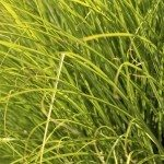 Prairi Dropseed Ornamental Grass Closeup Background