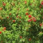 Spring blooming Japanese quince bush with vivid red flowers background