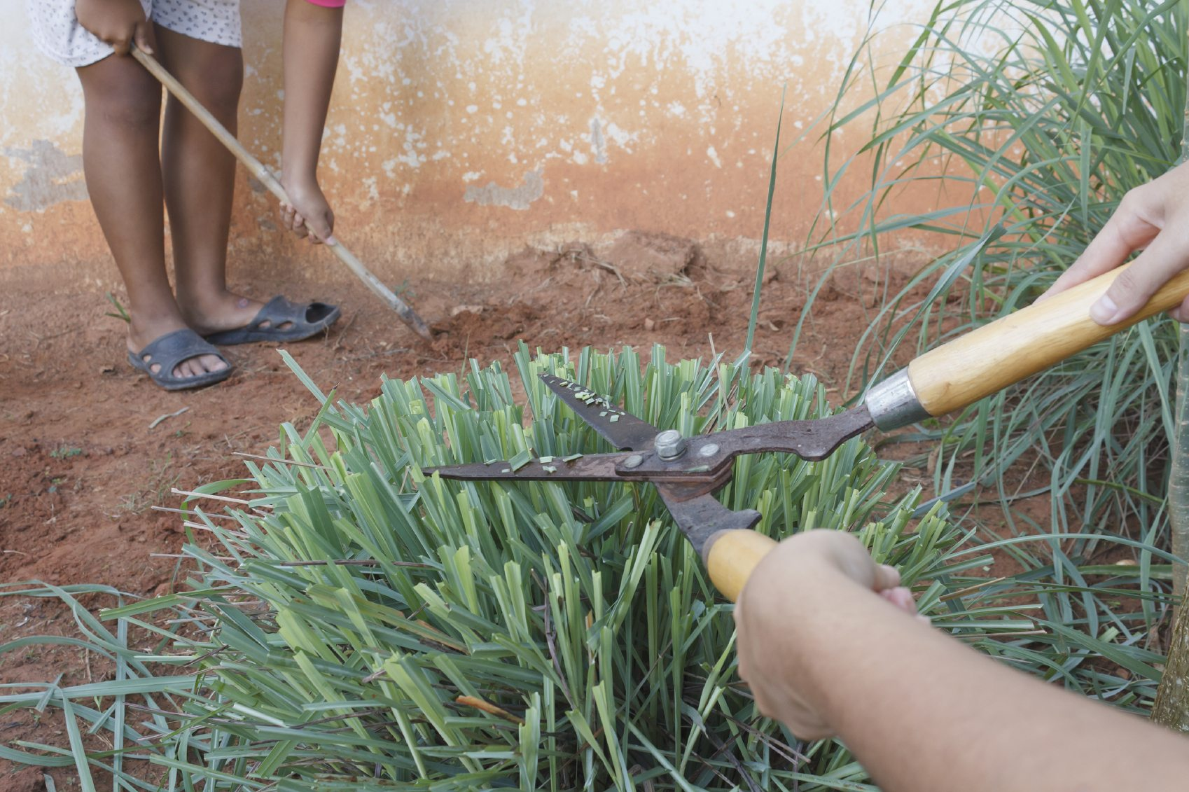 The Ultimate Guide To When To Sow Lemon Grass Seeds