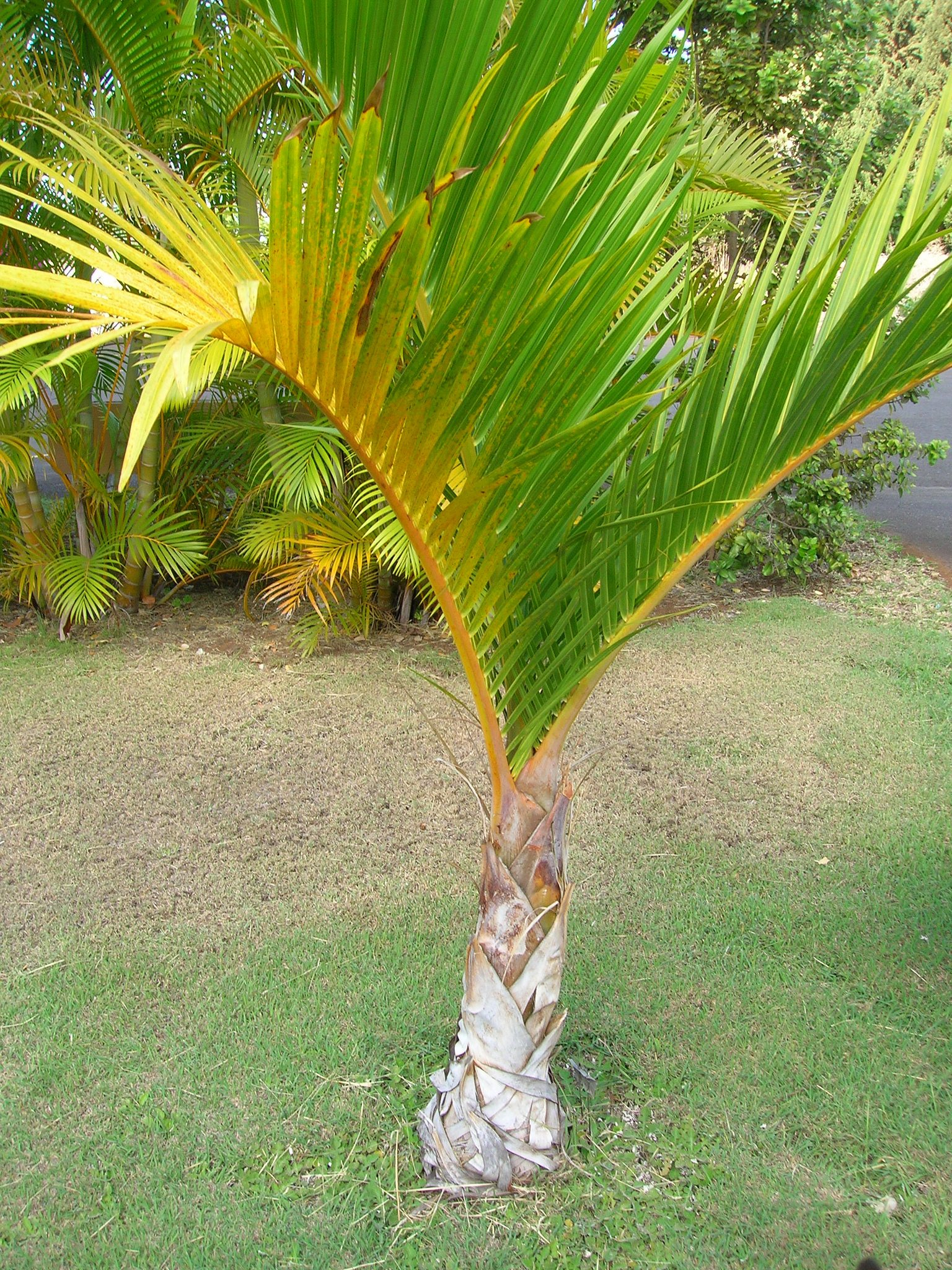 Learn how to grow garden palm trees in the country (tips for beginners)