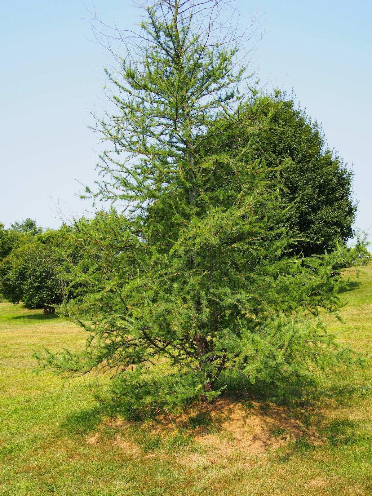 Information On Growing Okra And Harvesting Okra: Growing Tamarack Trees: Information And Care For Tamarack