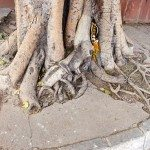 big tree roots in India , Delhi city street