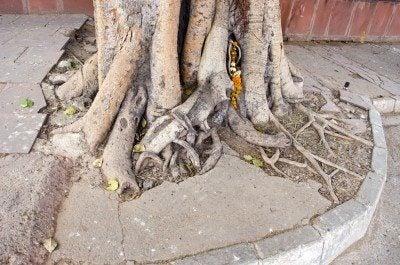 big tree roots in India , Delhi city street