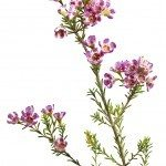 Chamelaucium uncinatum or waxflower