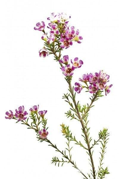Chamelaucium uncinatum or waxflower