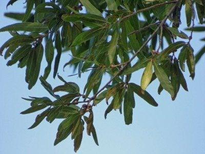 willow-oak-tree
