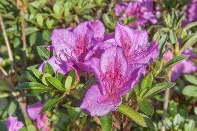 azalea fertilizer