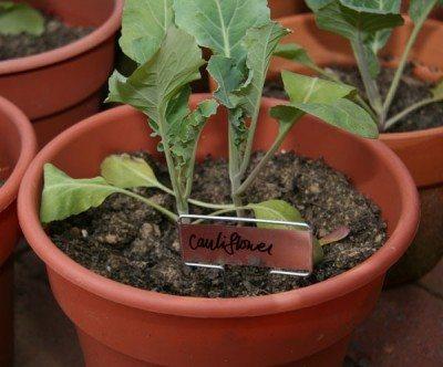 how to grow cauliflower in garden