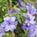 Light purple clematis flowers, closeup