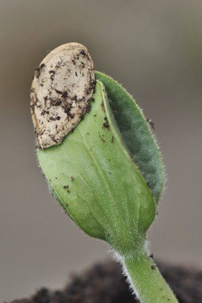 close up on the germination of a seed