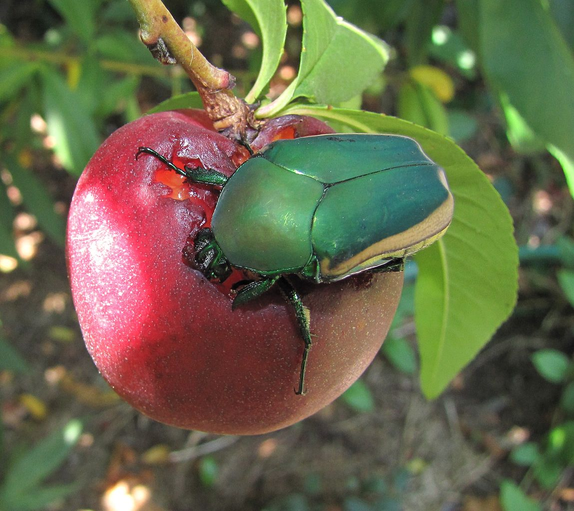 Figeater Beetles: Learn About The Fig Beetle Life Cycle ...