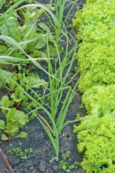 Garlic Companion Planting