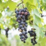 bunch of purple grapes on the vine with green leaves