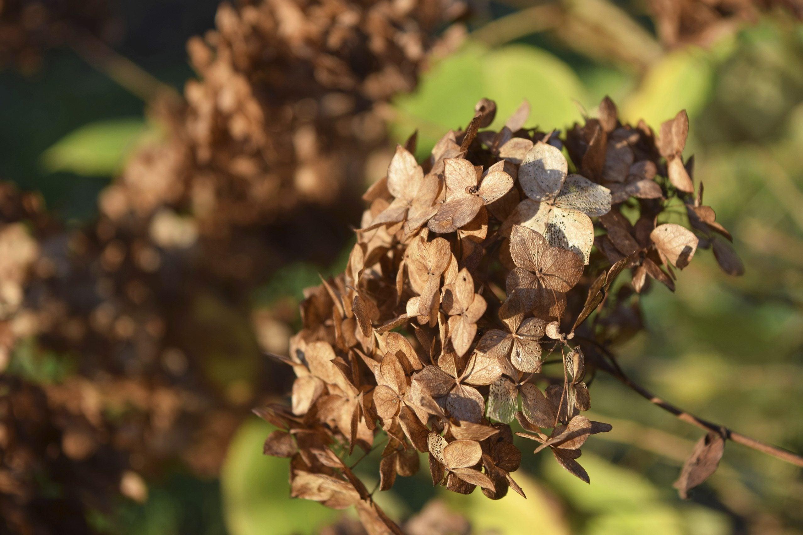 Should You Deadhead Hydrangeas Learn When To Deadhead Hydrangeas