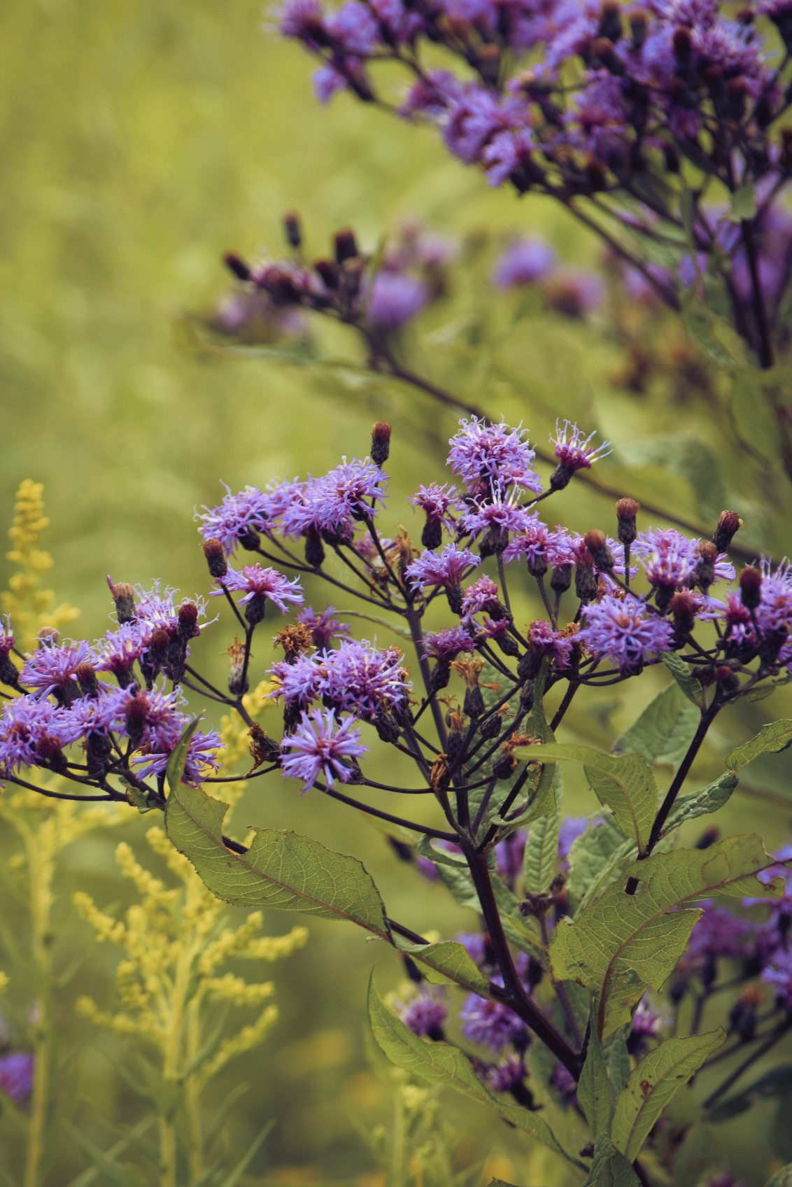 Ironweed Plant Control Learn How To Kill Ironweed In