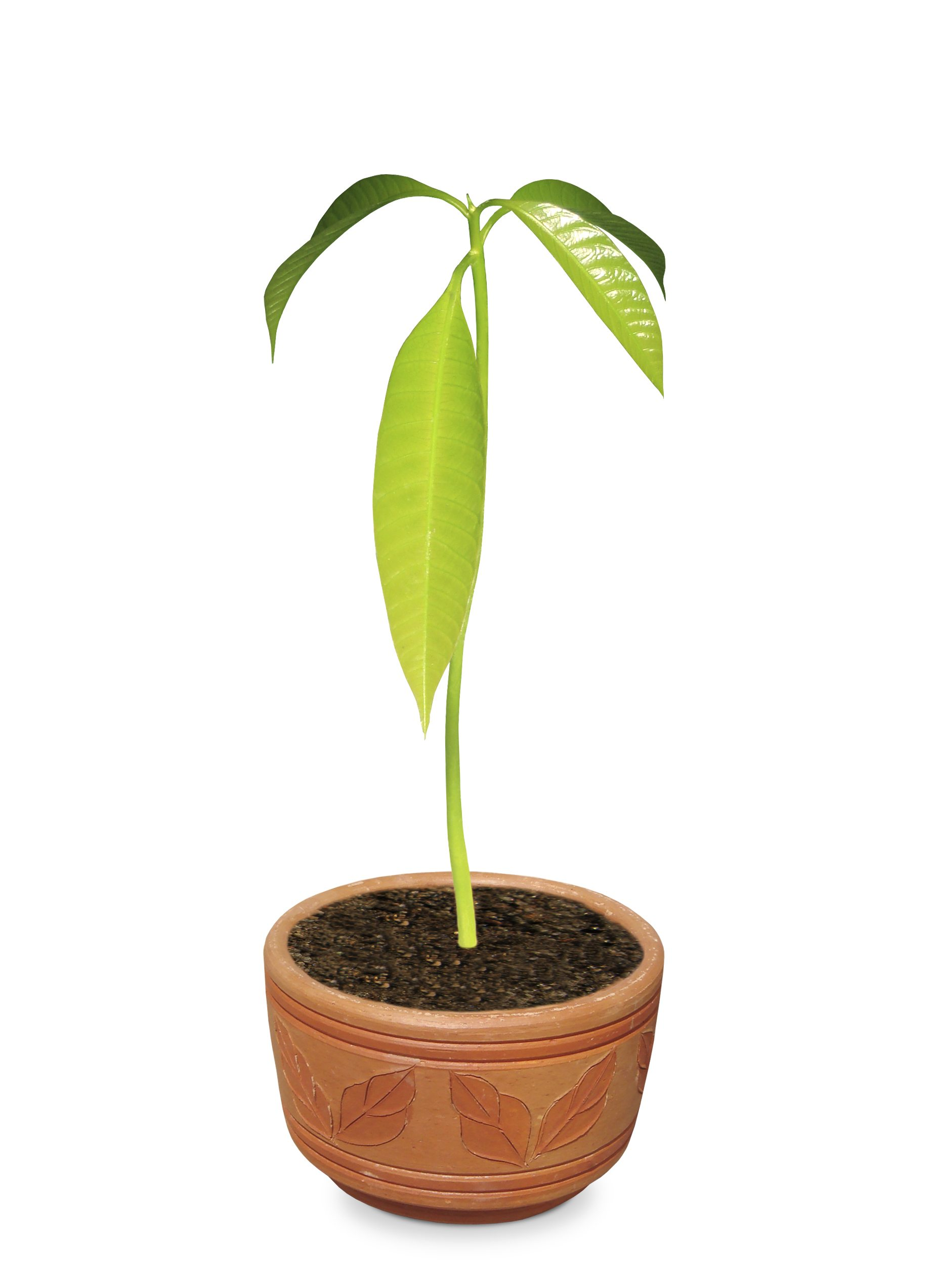 Can You Grow Mango Trees In A Pot Tips On Growing Containers