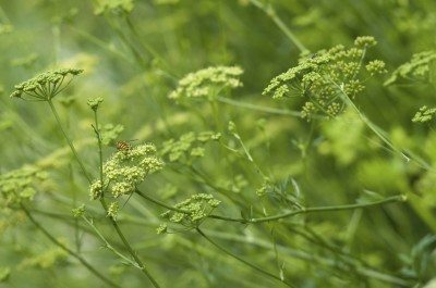 parsley bolt