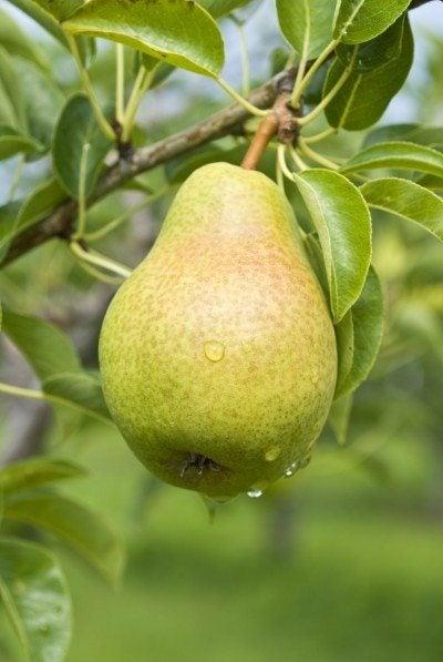 Pear tree dating method