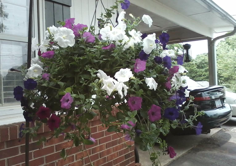 Hanging Flower Baskets Care : Planting petunias in hanging baskets cascading petunia