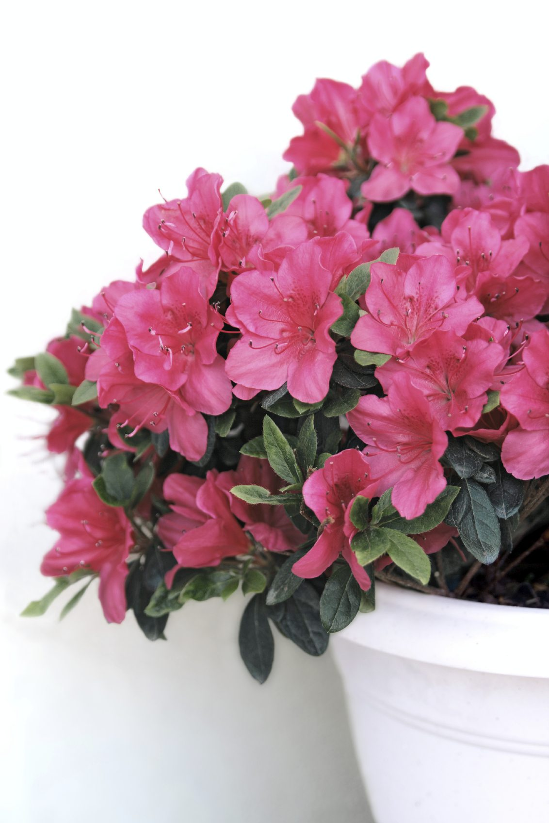 How To Care For Azalea In Planters