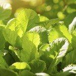 primrose leaves, backlit bright sunny spring day