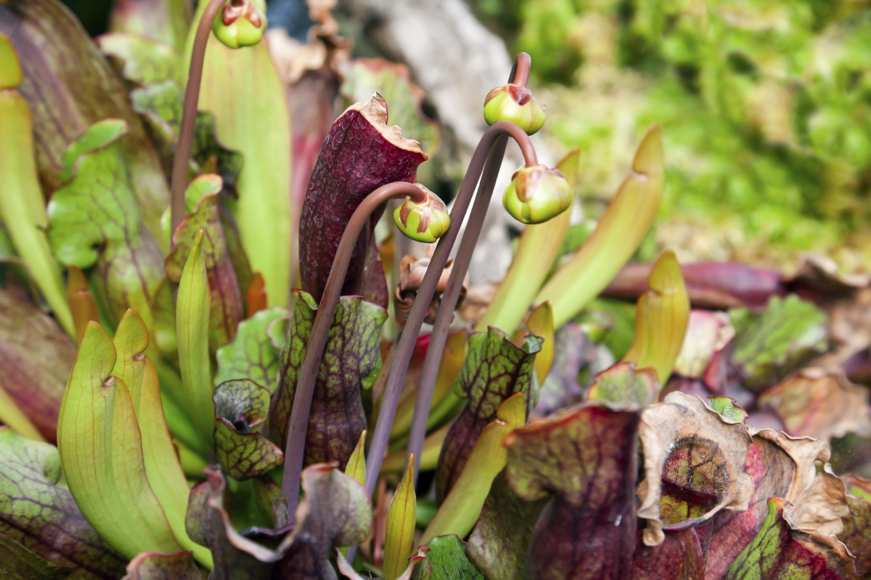 Garden Bush: When And How To Prune A Pitcher Plant