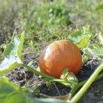 Pumpkin fruit growing on plant. Organic farming