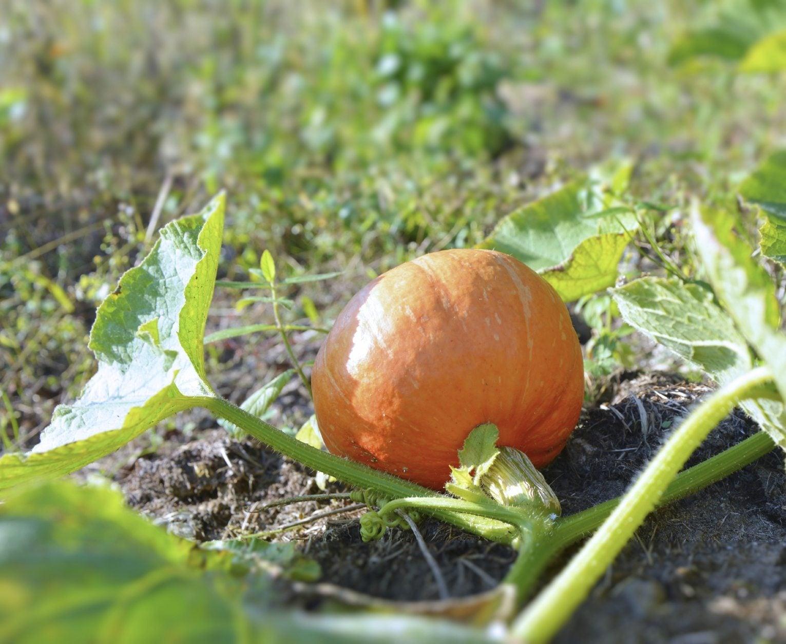 Best Fertilizer For Pumpkins