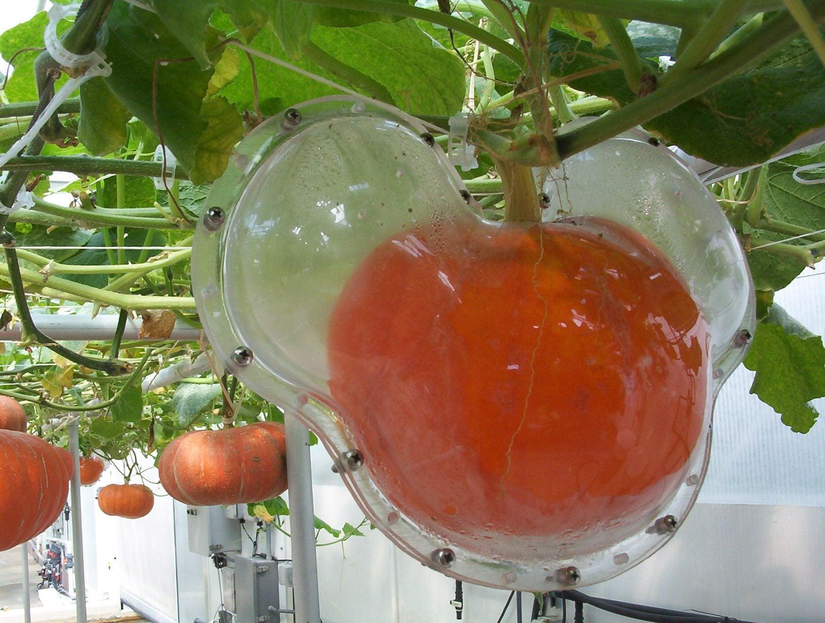 growing shaped pumpkins