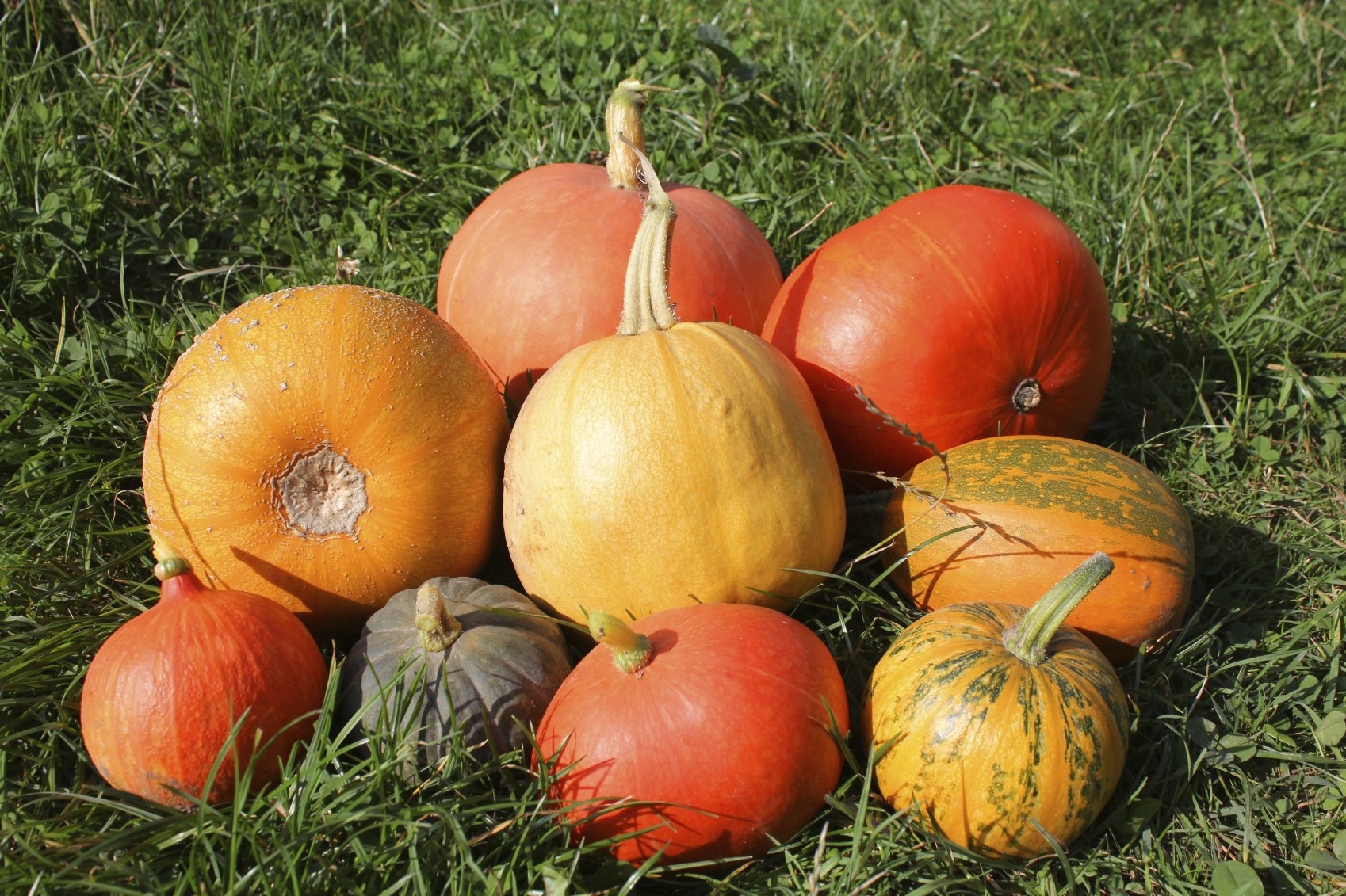 Growing Different Kinds Of Pumpkins Popular Mini And Giant Pumpkin Varieties For The Garden