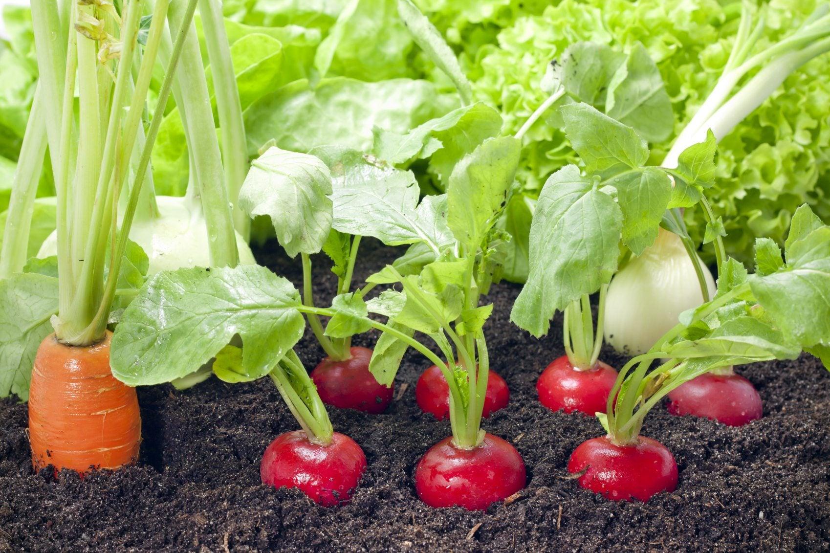 Radish is green, useful properties
