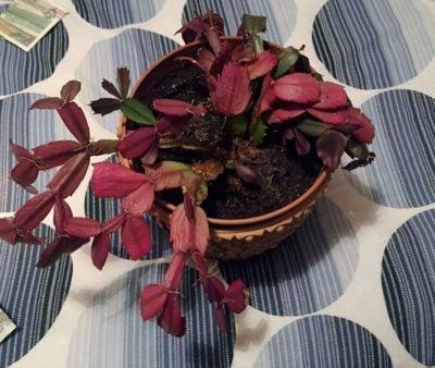 Christmas Cactus Leaves Turning Purple Reasons Christmas Cactus