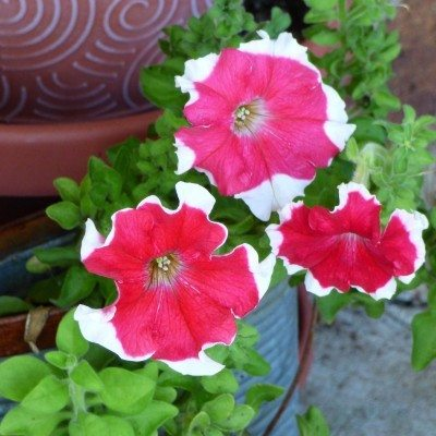 Petunia Container Care Growing Petunias In Pots