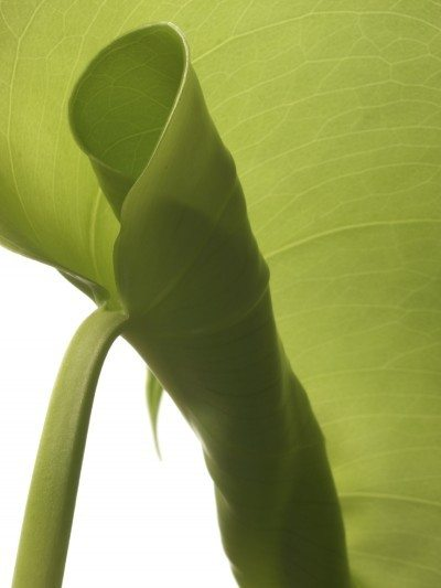 Leaf Curl On Rubber Plants What Causes Plant Leaves To