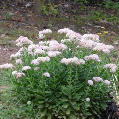 sedum-plant