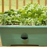 Container garden on a wood deck with shallots, lettuce, and spinach. 12MP camera.