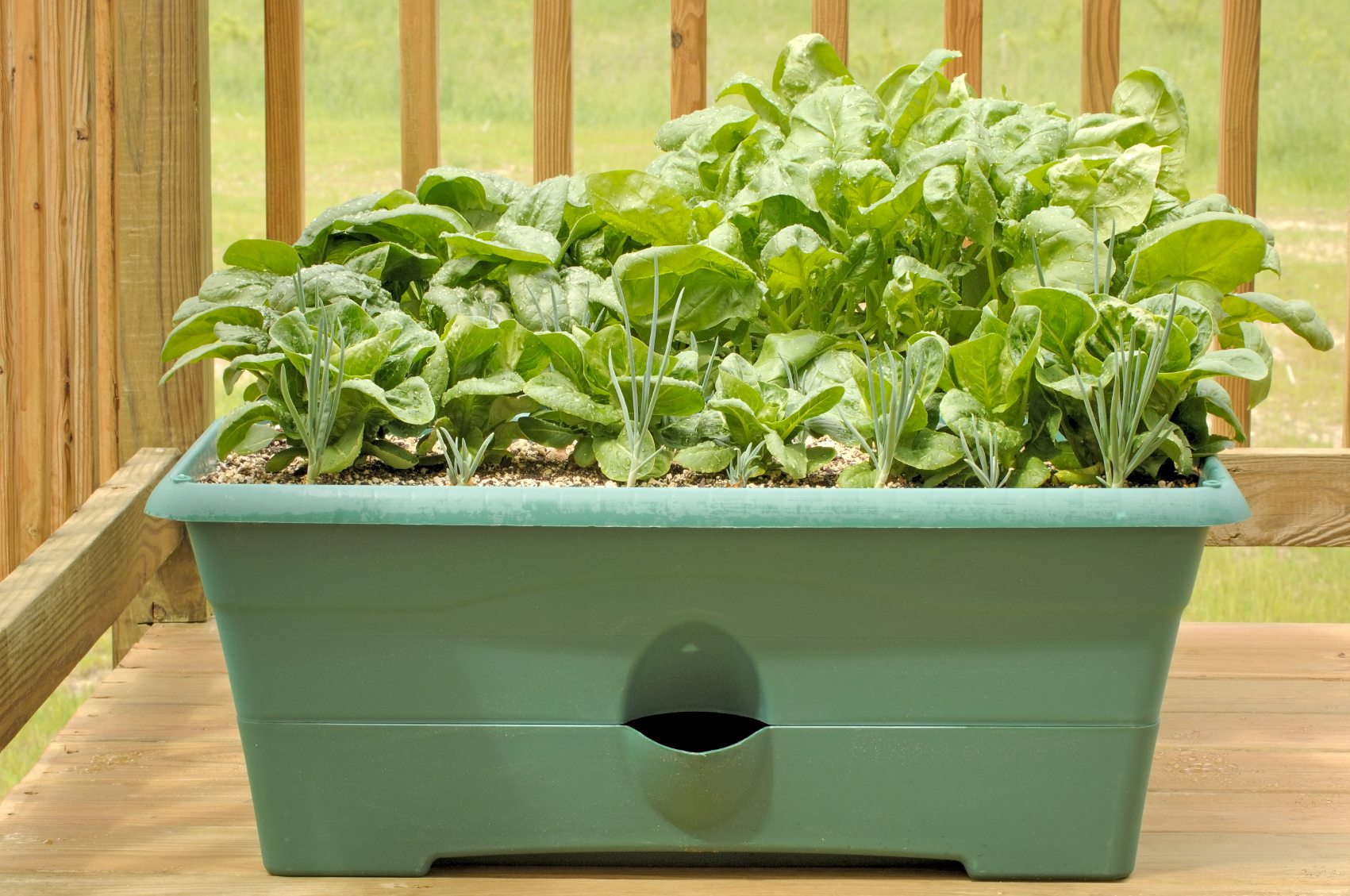 Growing Spinach In Containers