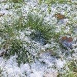 Green grass covered with first snow.Small depth of field