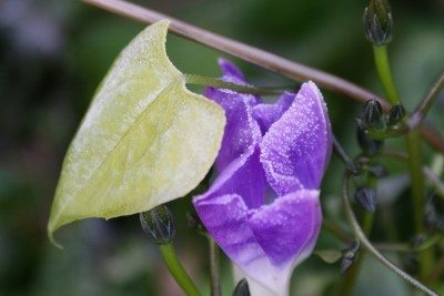 Why do morning glory leaves turn yellow reasons a morning glory has yellow morning glory foliage treating yellow leaves on morning glories mightylinksfo