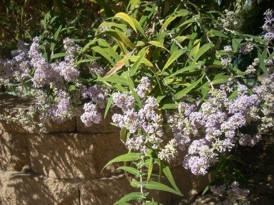 how to kill buddleia roots
