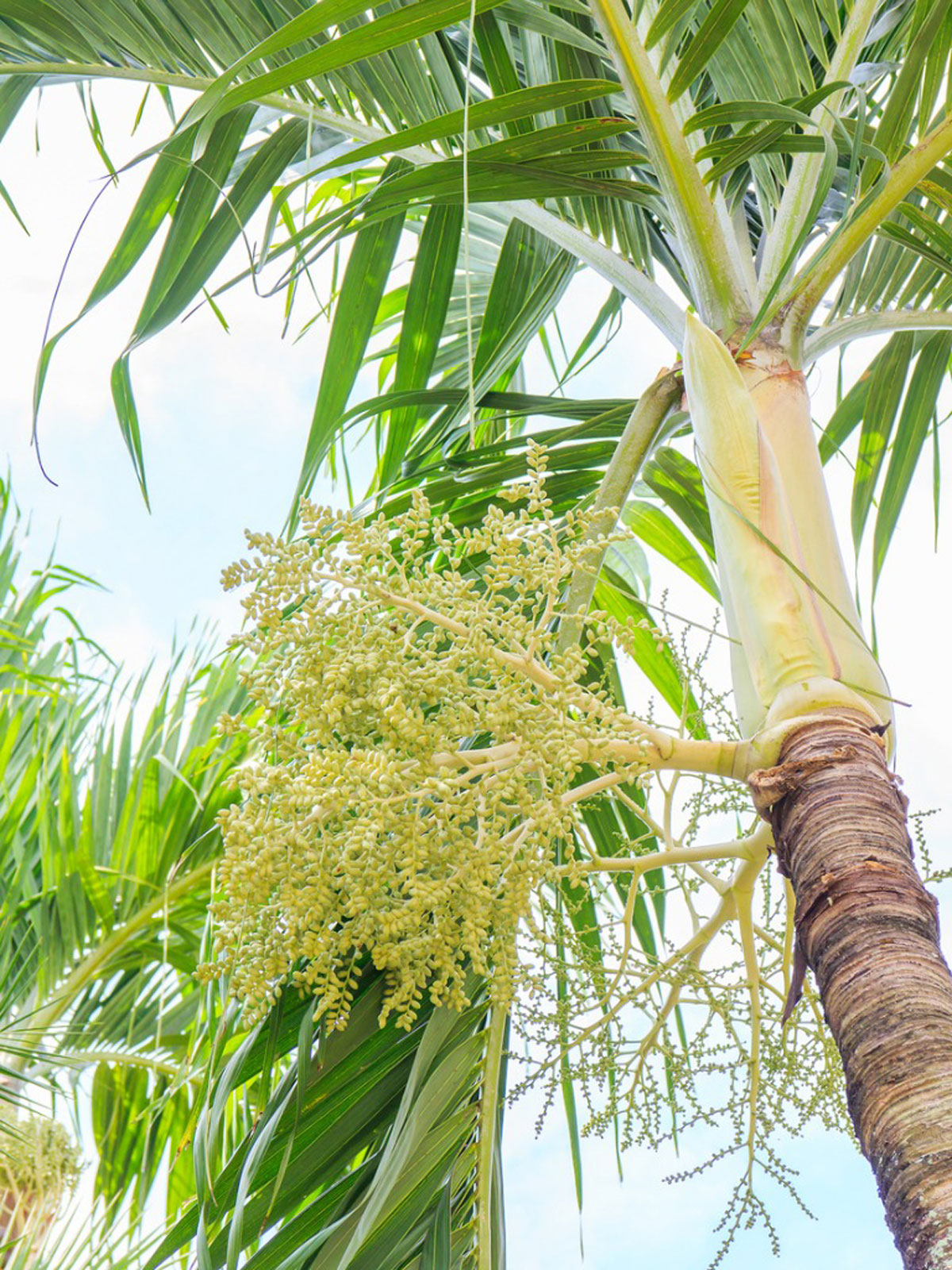 Christmas Palm Tree Care - Learn How To Grow A Christmas ...