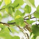 bright green spring foliage on alder, background
