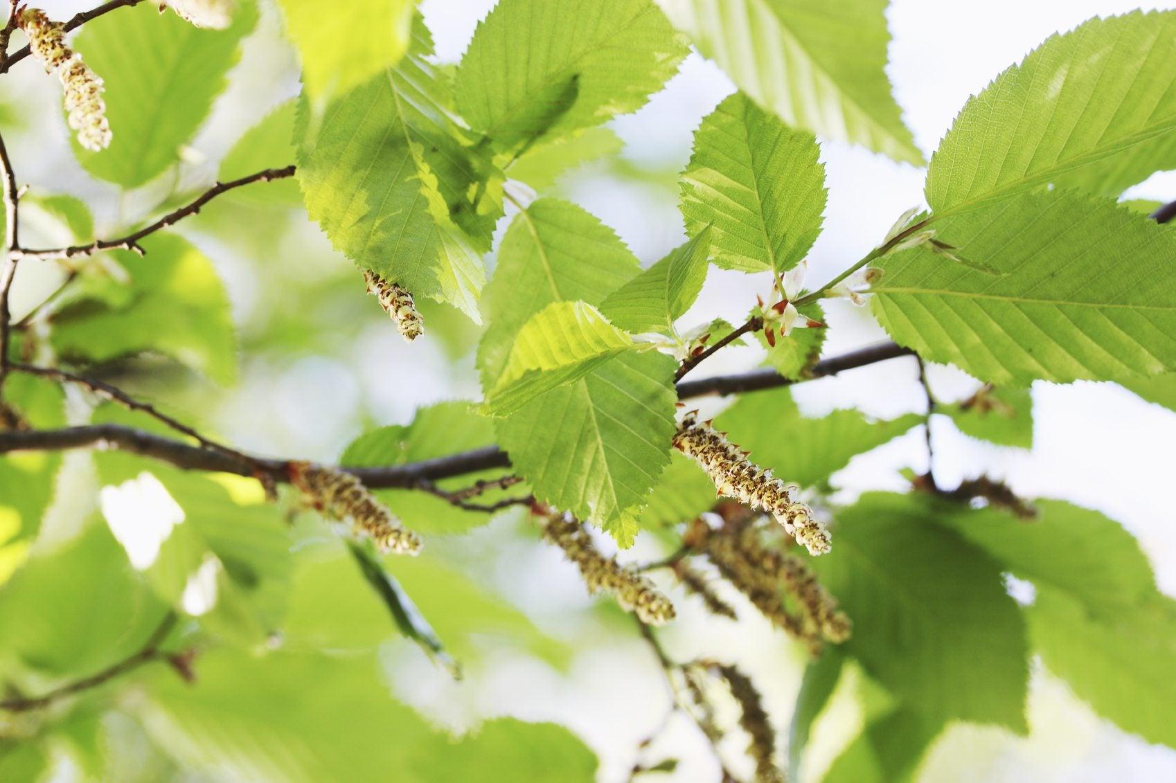 Black Alder Tree Facts - Learn About Uses For Black Alder ...
