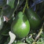 Bunch of Avocado hanging on the tree branch, closeup