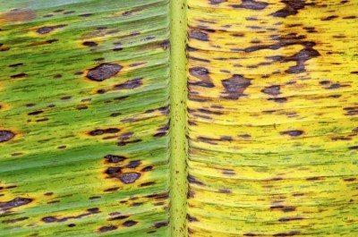Banana (Musa sapientum) tree leaf, Mexico