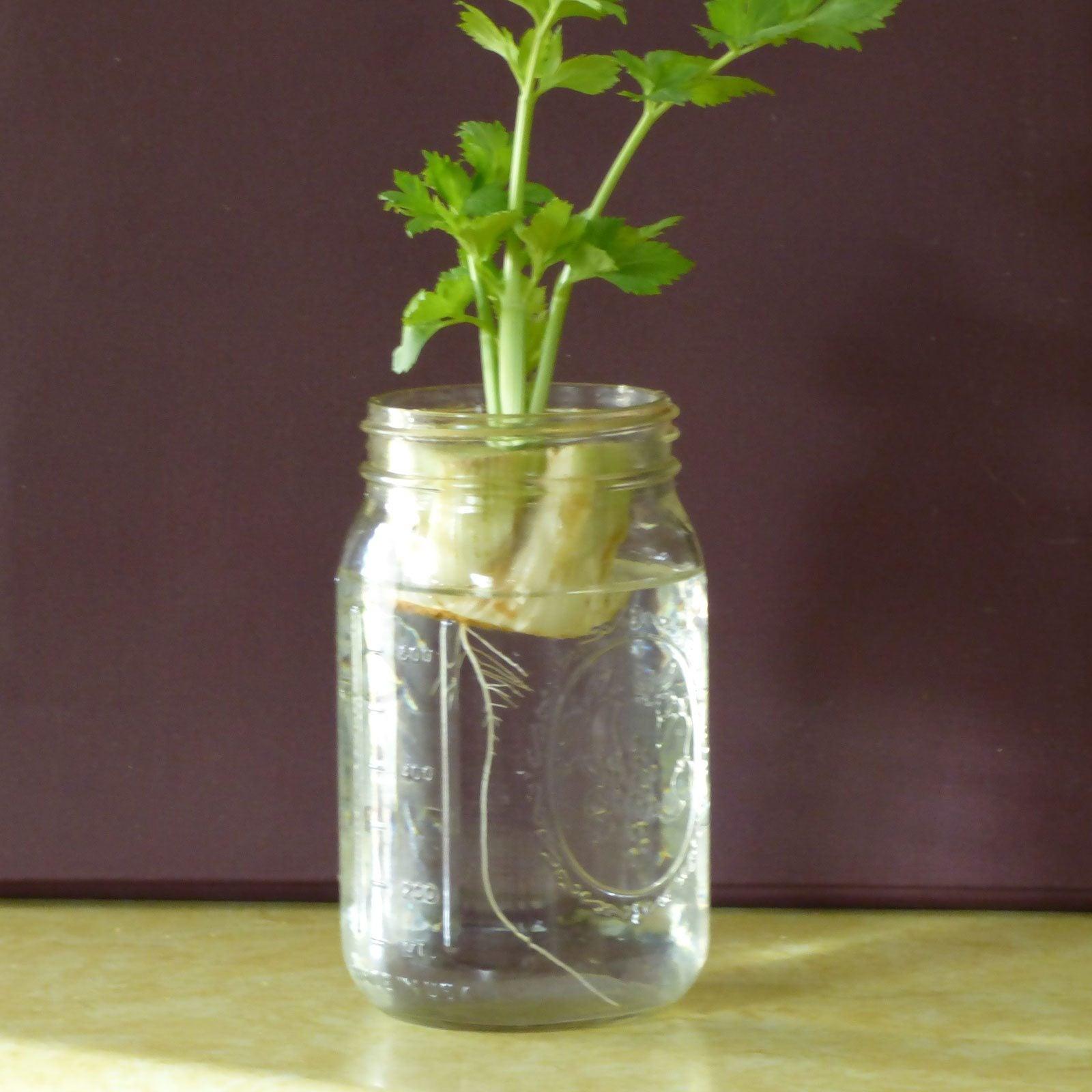 Garden Bush: Planting Celery Bottoms Outdoors